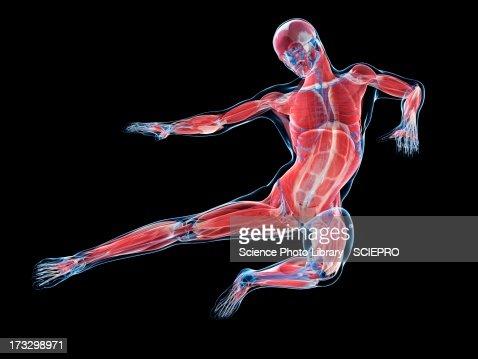 Male musculature, artwork : Stock Illustration