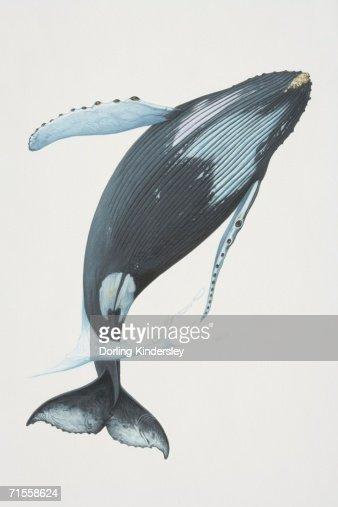megaptera novaeangliae humpback whale breaching stock