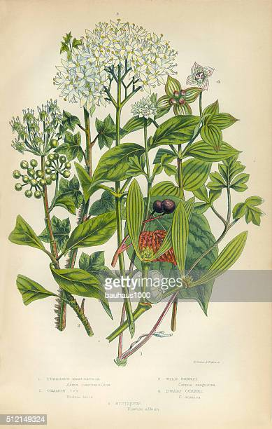 Mistletoe, Ivy, Cornet, Trumpetflower, Moschatell, Victorian Botanical Illustration