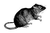Old engraving of a mouse, isolated on white. Scanned at 600 DPI with very high resolution. Published in Systematischer Bilder-Atlas zum Conversations-Lexikon, Ikonographische Encyklopaedie der Wissens