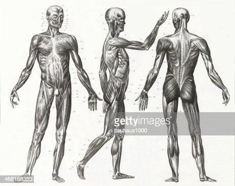 multiple illustrations of human muscles and ligaments stock, Muscles