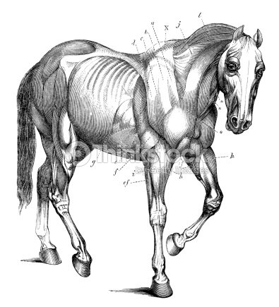 Muscle Anatomy Of The Horse In Antique Engraving Stock Illustration ...