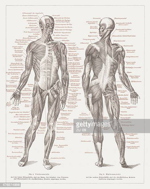 Muscles of man, lithograph, published in 1877