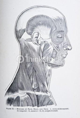 Muskeln Den Kopf Gesicht Und Nacken Stock-Illustration   Thinkstock