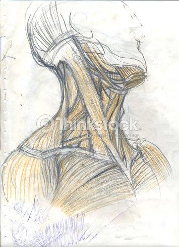 Muskulatur Des Halses Stock-Illustration | Thinkstock