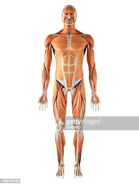 Musculoskeletal system, artwork