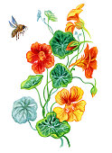 Nasturtium and bee, watercolor illustration on white background isolated on white background with clipping path.