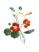 High resolution illustration of a Nasturtium, isolated on white background. Engraving by Pierre-Joseph Redoute. Published in Choix Des Plus Belles Fleurs, Paris (1827).