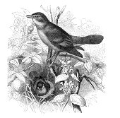 Antique Woodcut Engraving of a Nightingale