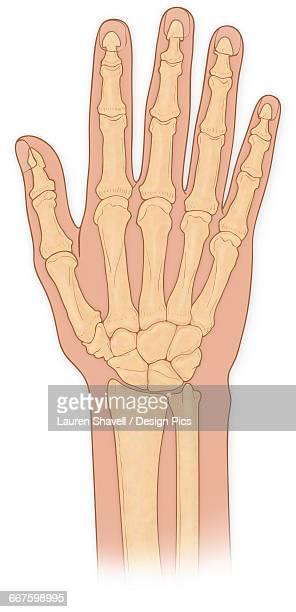 Normal anterior view of hand bones, ulna, radius, hamate, pisiform, capitate, lunate, triquetral, trapezoid, trapezium