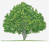 Nutmeg And Mace: Illustration of Myristica fragrans (Nutmeg) evergreen tree