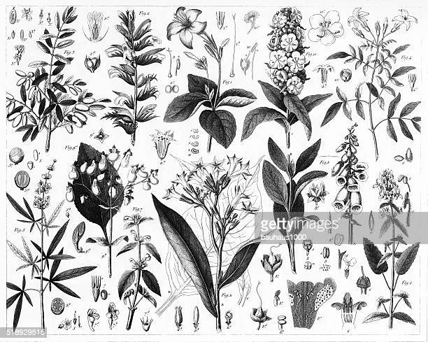 Olive, Verbena, Mint and Fig Plants