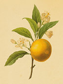Orange   Antique Flower Illustrations