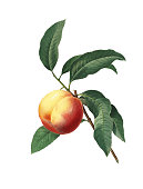High resolution illustration of a peach, isolated on white background. Engraving by Pierre-Joseph Redoute. Published in Choix Des Plus Belles Fleurs, Paris (1827).