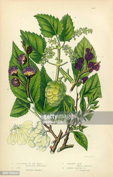 Pellitory, Lichwort, Hop, Elm, Elm Tree, Victorian Botanical Illustration