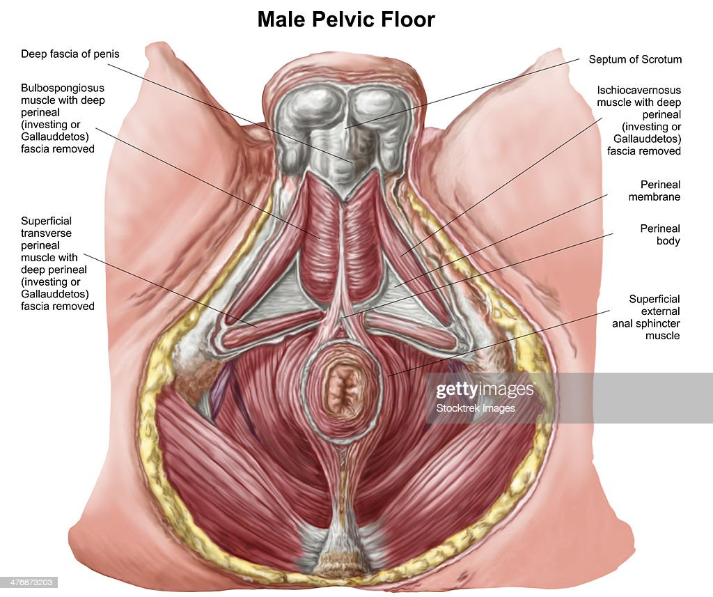 Exceptional Pelvic Floor Of Human Male. : Stock Illustration