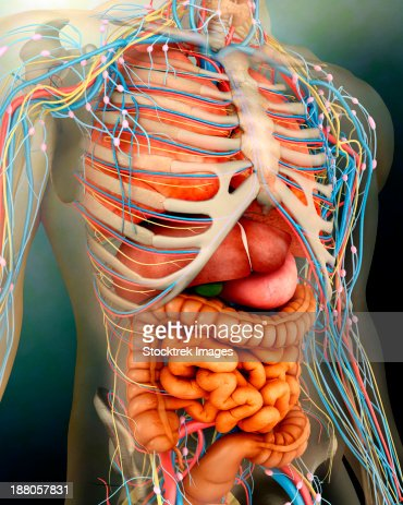 human midsection with internal organs stock illustration | getty, Skeleton
