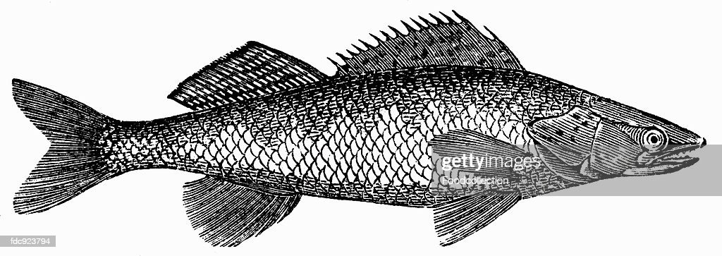 Pike-perch (illustration) : Stock Illustration