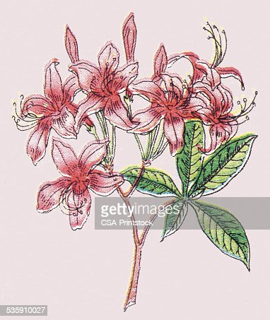 Rosa flores : Ilustración de stock