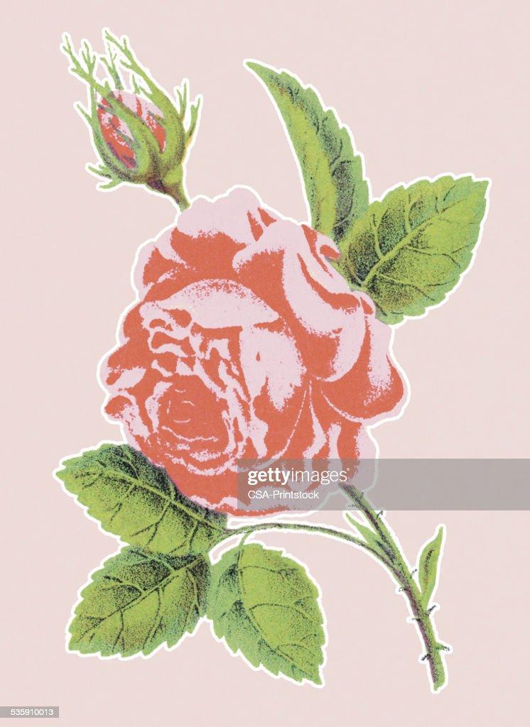 Pink Rose : Stock-Illustration