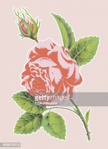 Pink Rose : Stock Illustration
