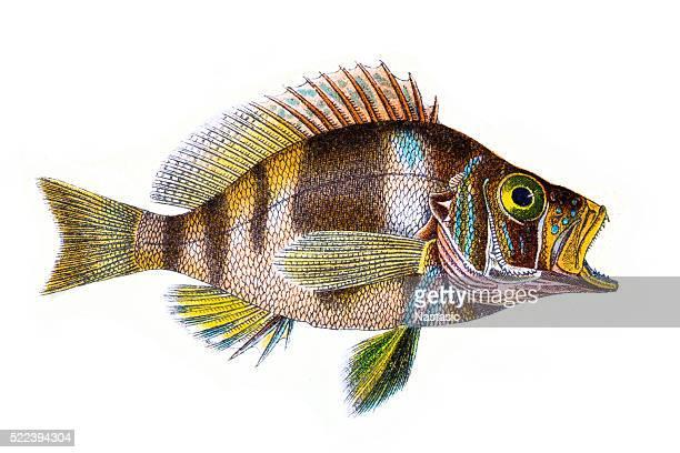 Plectropoma Puella (Beautiful Plectropoma)