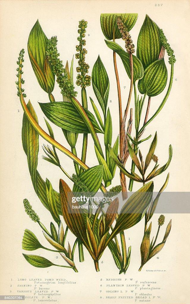 pond weed lemnoideae bayroot duckweed victorian botanical. Black Bedroom Furniture Sets. Home Design Ideas