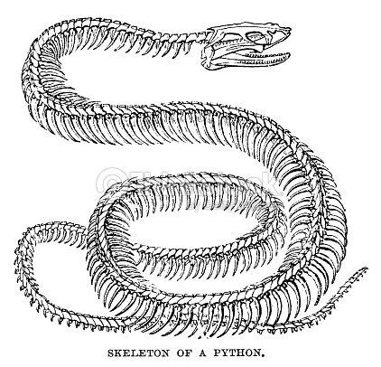 Pitón De Skeleton Ilustración de stock | Thinkstock