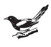 r illustration magpie on white background