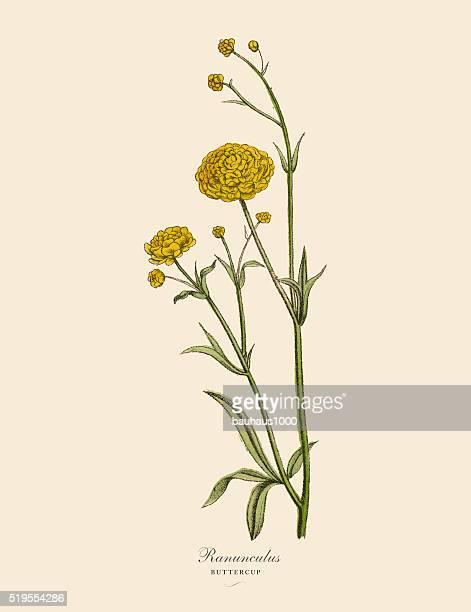 Renoncule d'Asie ou bouton d'or de plantes botaniques victorien Illustration