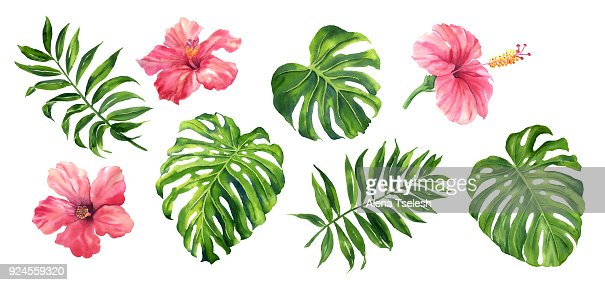 Realistic tropical botanical foliage plants. Set of tropical leaves and flowers: green palm neanta, monstera, hibiscus. Hand painted watercolor illustration isolated on white. : Stock Illustration