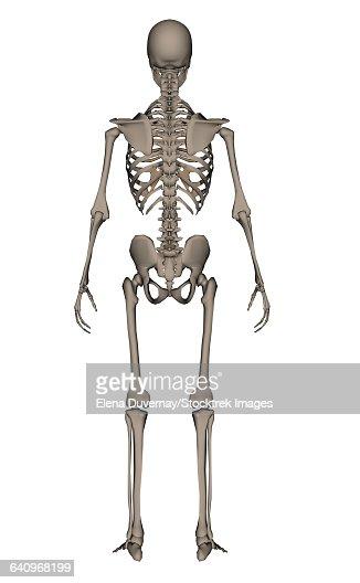 Human Skeleton Labeled Back View Tenderness