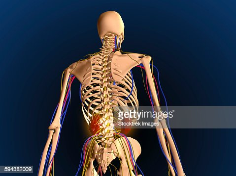 rear view of human skeleton showing kidney and nervous system, Skeleton