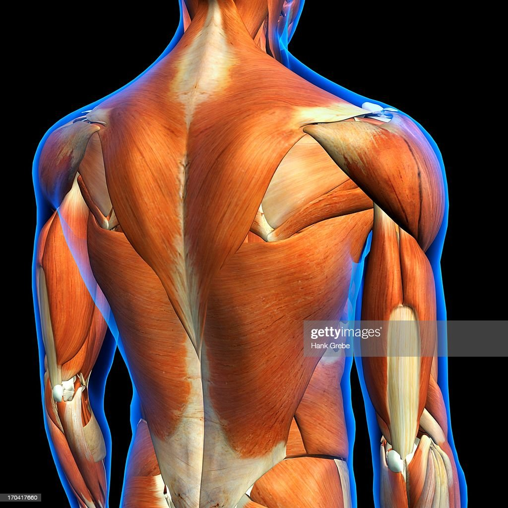 Rear View of Male upper back muscles anatomy in blue X-Ray outline. Full Color 3D computer generated illustration on Black Background : Stock Illustration