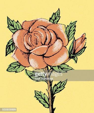 Rojas Rose : Ilustración de stock