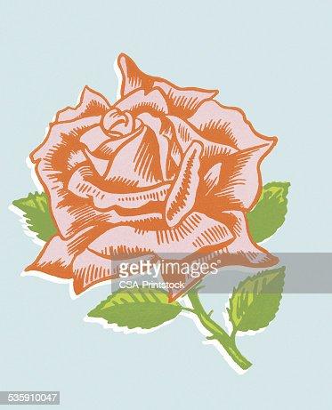 Red Rose : Stock Illustration