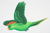 Red-winged or Crimson-winged Parrot (Aprosmictus erythropterus), green parrot with red wing feathers flying, side view.