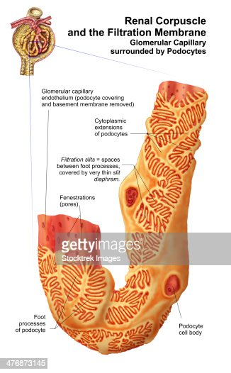 Renal Corpuscle And The Filtration Membrane Glomerular. Palm Signs. Drama Signs Of Stroke. Rooftop Signs. Weeping Signs. Semi Truck Signs Of Stroke. Chemistry Lab Signs Of Stroke. Environmental Hazard Signs. Happiness Signs Of Stroke