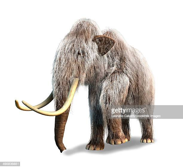 3-D rendering of a Woolly Mammoth, white background.