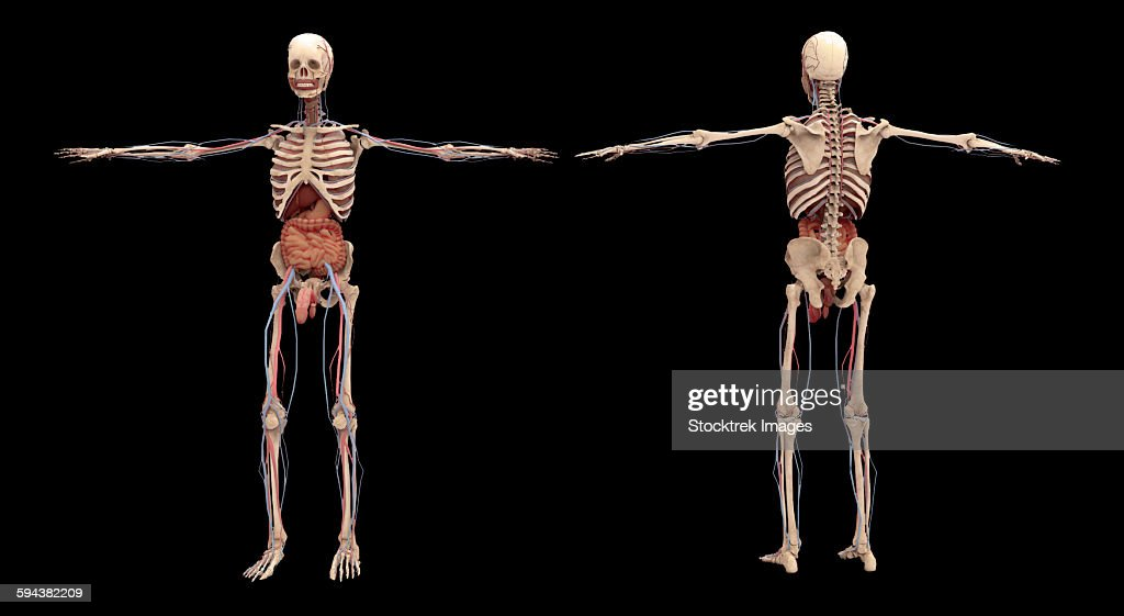 3d rendering of human skeleton with internal organs stock, Skeleton