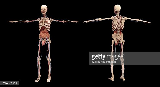 human skeleton with organs and circulatory system stock, Skeleton