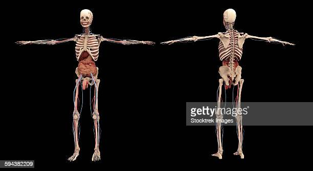 back view of human skeleton with nervous system arteries and veins, Skeleton