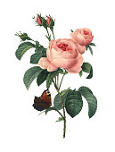 "High resolution illustration of a rosa centifolia, also known as provence rose, cabbage rose or Rose de Mai, isolated on white background. Engraved by Pierre-Joseph Redoute (1759 - 1840), nicknamed ""T"