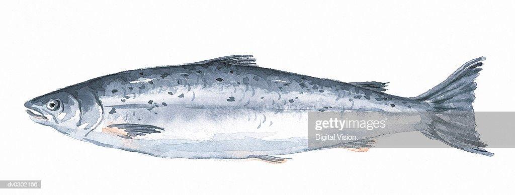 Salmon : Stock Illustration
