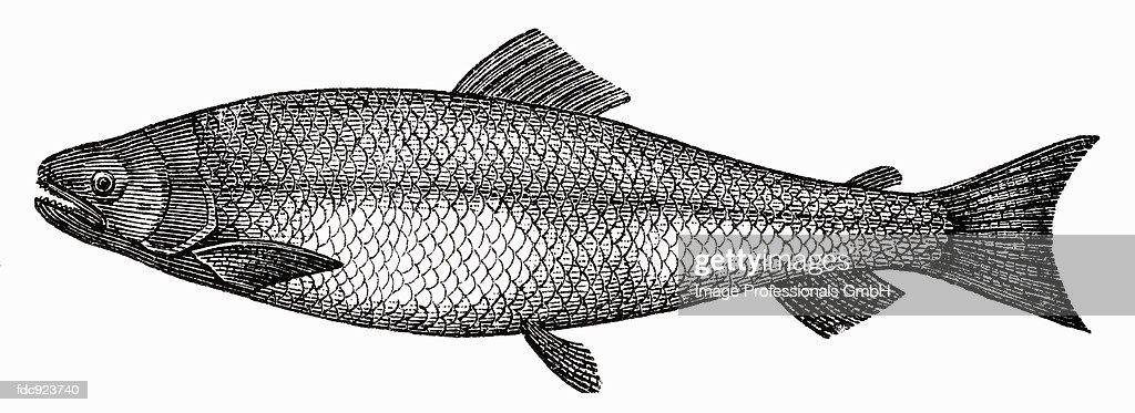 Salmon (illustration) : Stock Illustration