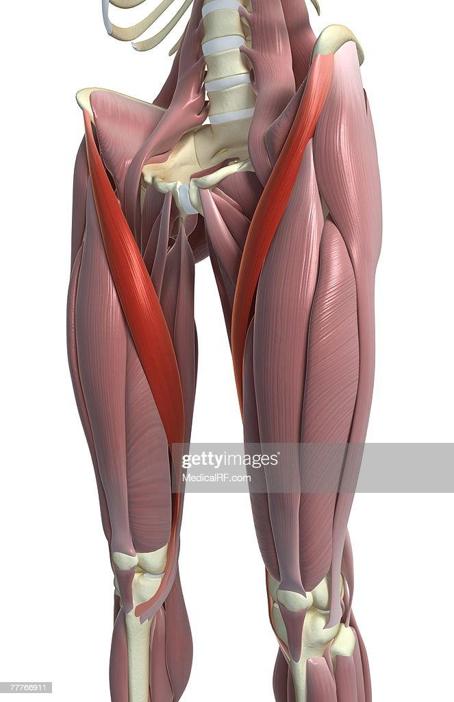 sartorius muscle stock illustration | getty images, Human Body