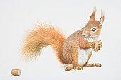 Sciurus vulgaris, Red Squirrel holding nut.