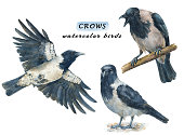 Set of crows - angry, calm and flying birds. Watercolor hand drawn illustrations isolated on white background.