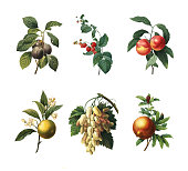 Set of 19th century illustrations of Royal plum, Raspberry, Peaches, Orange fruit, White grape and Pomegranate. Engraving by Pierre-Joseph Redoute. Published in Choix Des Plus Belles Fleurs, Paris (18