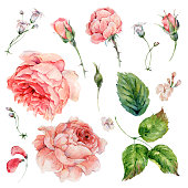 Set of vintage watercolor roses leaves, buds branches, flowers and wildflowers, watercolor illustration isolated on white background, natural design elements